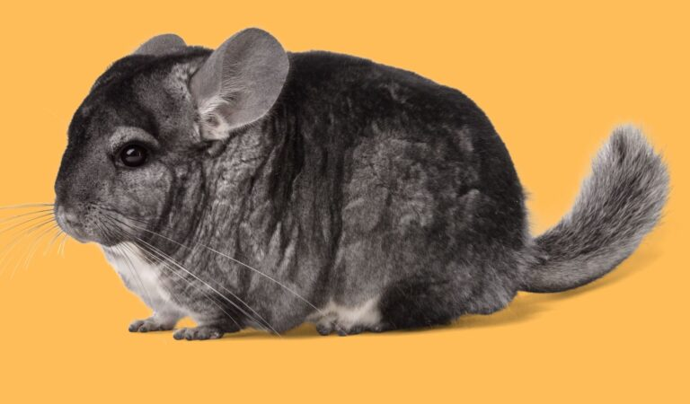 Chinchilla-An adorable rodent & here is all you need to know about Chinchillas