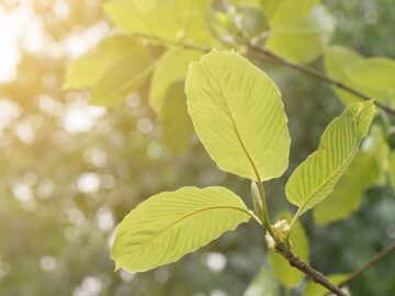 Kratom and its 5 Benefits and 5 Shortcomings
